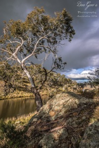 WM Bombala Tree