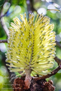 WM Banksia