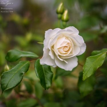 WM Rose