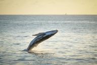 Sunrise Whale Leap